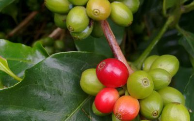 What are the top types of coffee beans from Asia?
